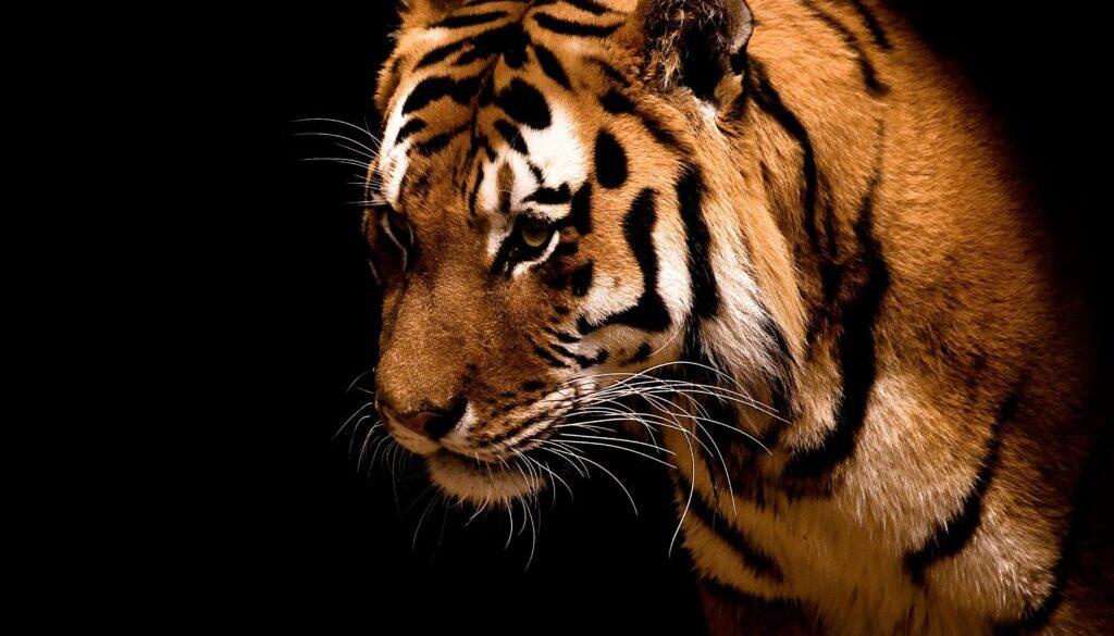 一只饥饿的老虎